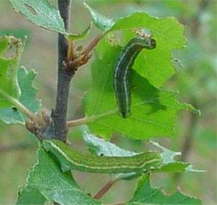 Почковая листовертка — гусеница для