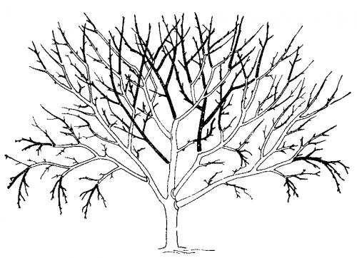 Схема обрезки яблони в период полного плодоношения (тёмным обозначены удаляемые части дерева). схема обрезки яблони в...