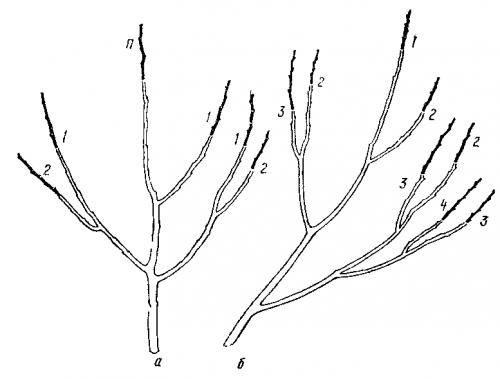 а - молодого дерева; б - отдельной основной ветви (схема).  Рис. 46.  Правило соподчинения при обрезке.